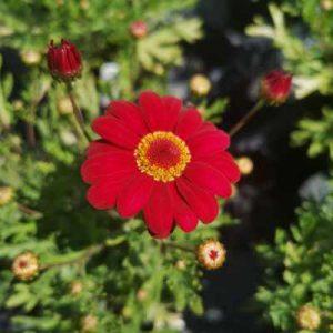 argyranthemum burgandy